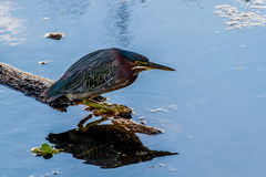Close Up of a Small Heron, a Least Bittern. Royalty Free Stock Photos