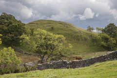 Small Hill & Cattle at Malham Cove. Yorkshire Dales National Park, England Royalty Free Stock Photo