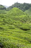 Small Hill in a Tea Plantation Royalty Free Stock Image