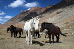 small himalayan horses high in mountains Royalty Free Stock Photos