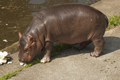 Small hippo Stock Images