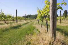 Small Hobby Vineyard Stock Image