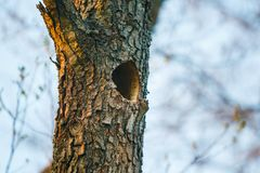 Small hollow in old tree trunk close-up. Old tree with hollow stock images