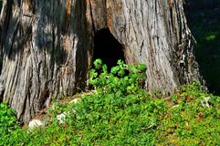 Small hollow tree surrounded with green grass Stock Photo