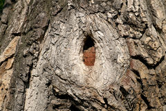 Small hollow in a tree trunk.  stock image