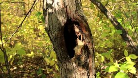 Small hollow in a tree. Tree hollow in the wood stock video