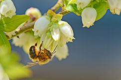 Small honeybee hangs from a Blueberry Bloom. Royalty Free Stock Images