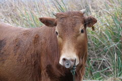 A small horn brown cattle with a nose ring Stock Photos