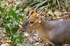 Small Horned Deer in Forest. A small horned african deer in the forest Royalty Free Stock Images