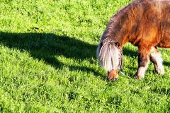 Small horse eating in the field Stock Images