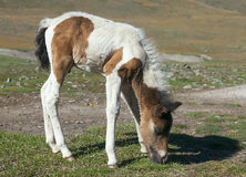 Small horse Royalty Free Stock Photos