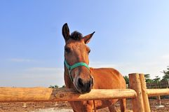 Small horse in Farm Stock Photo