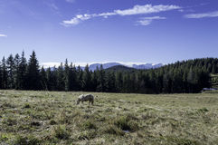 Small horse on a field in the mountains Royalty Free Stock Photos