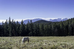Small horse on a field in the mountains Stock Images