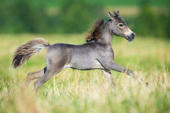 Small horse galloping on green background Royalty Free Stock Photography