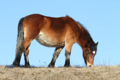 Small horse grazing Royalty Free Stock Image