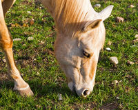 Small horse grazing Royalty Free Stock Photos