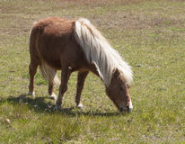 Small Horse Grazing Stock Image