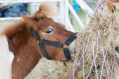 The small horse and hair tie eating dry hay Stock Photos