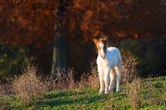 Small horse pony Royalty Free Stock Photo