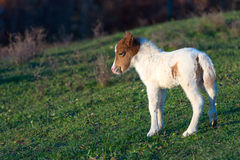 Small horse pony Royalty Free Stock Photography