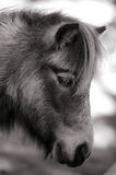 Small horse Stock Photography