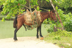 Small horse at Rincon Beach, Samana Peninsula Royalty Free Stock Photos