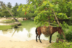 Small horse at Rincon Beach, Samana Peninsula Stock Image