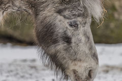 Small horse in ZOO Liberec in winter day Stock Photography