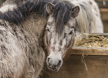Small horse in ZOO Liberec in winter day Royalty Free Stock Photography