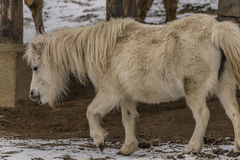 Small horse in ZOO Liberec in winter day Royalty Free Stock Image