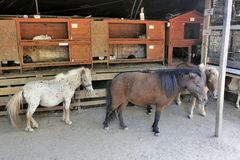Small horses and rabbits. In a corner of the farm barn Stock Photos