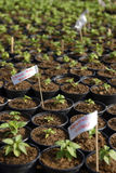 Small Hot Pepper Saplings. Sprouts of hot peppers with labels - erase the letters and write your own Stock Photo