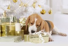 Beagle dog with a gift package indoors Stock Images