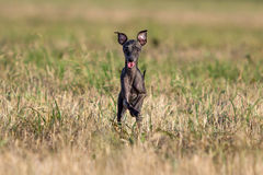 Small Hound dog. Run in field Royalty Free Stock Images
