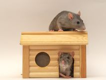 In a small house 2. Rats in a small house Royalty Free Stock Photography