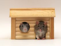 In a small house. Rats in a small house Stock Images
