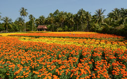 Small house with flower fields in Ben Tre, Vietnam.  Stock Photos