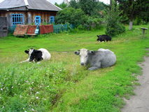 Small house, green tree and cow. Siberia, Russia. Summer day in Siberian village. small house, big tree and cow Royalty Free Stock Photo