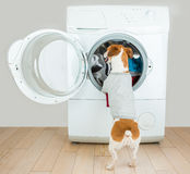 Small house helper. Dog back gray t-short. Laundry and dry cleaning pet service. employee accepts the order, puts dirty linen in the washing machine. Funny ad stock photo