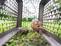 Small rat trapped in a cage. Stock Photography