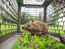 Small rat trapped in a cage. Stock Images