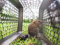 Small rat trapped in a cage. Royalty Free Stock Photo