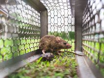 Small rat trapped in a cage. Royalty Free Stock Images