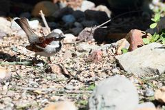 Small House Sparrow On Ground Royalty Free Stock Photo