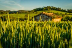 Small house in a wheat crops. At sunset in France Stock Photography