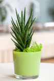 Small houseplant in a light green flower pot Royalty Free Stock Photos