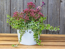 Small houseplant in white bucket. Small box-like houseplant growing in white bucket Stock Image