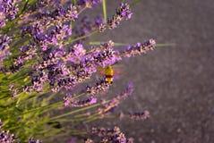 Hummingbird hawk-moth with purple lavender royalty free stock photo