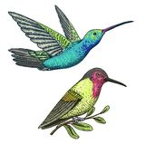 Small hummingbird. Rufous and White-necked Jacobin bird. Exotic tropical animal icons. Golden tailed sapphire. Use for. Wedding, party. engraved hand drawn in Stock Image